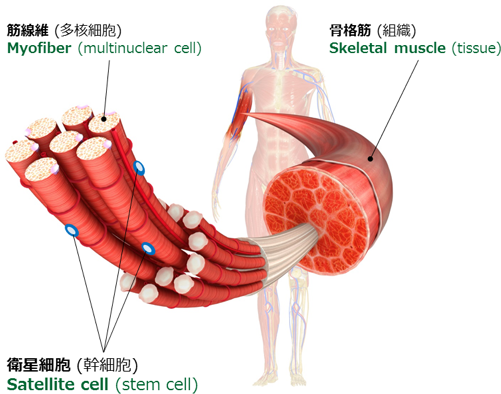 骨格筋幹細胞 / Skeletal muscle stem cell