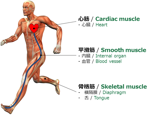 3種類の筋肉 / Three types of muscles